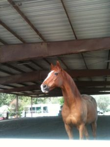 SAFE! San Juan Capistrano, CA: 27 Thorougbred Gelding Needs Home