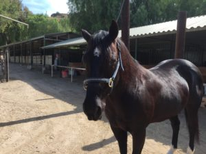 Brea, CA: 10 y/o Black Quarter Horse Gelding Needs Home