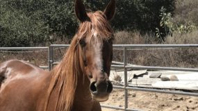 Announcing Venus: 22 y/o Rocky Mountain Horse, Our Latest Rescue